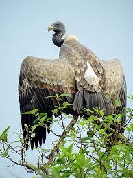 Indian Vultures   UPSC  